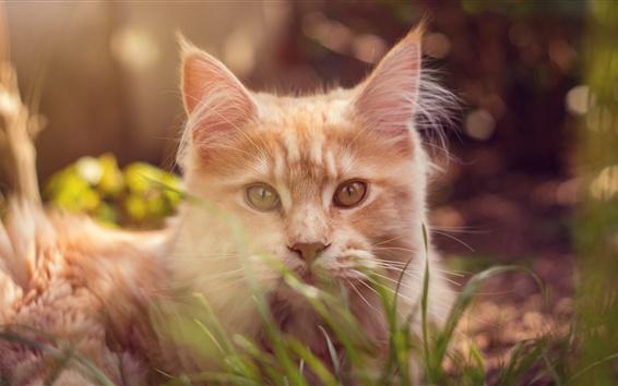 壁紙 茶色の猫、草、ボケ