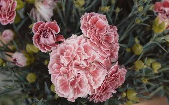Fondos de pantalla Flores de claveles, pétalos de rosa