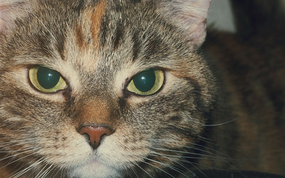 Wallpaper Cat face, eyes, mouth, whisker