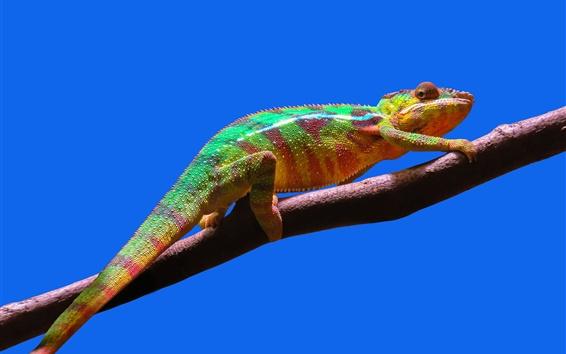 Wallpaper Chameleon, branches, blue sky