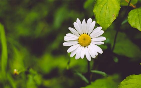 Wallpaper Chamomile, white flowers, green leaves