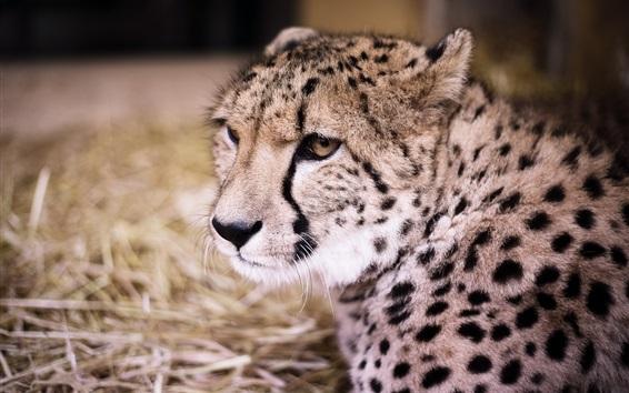 Papéis de Parede Cheetah vista frontal, gato grande, predador