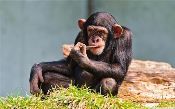 Обои Chimp отдыхают