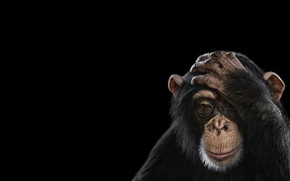 Обои Шимпанзе, черный фон