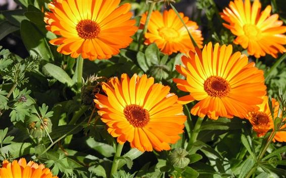 Papéis de Parede Crisântemo, flores de laranja