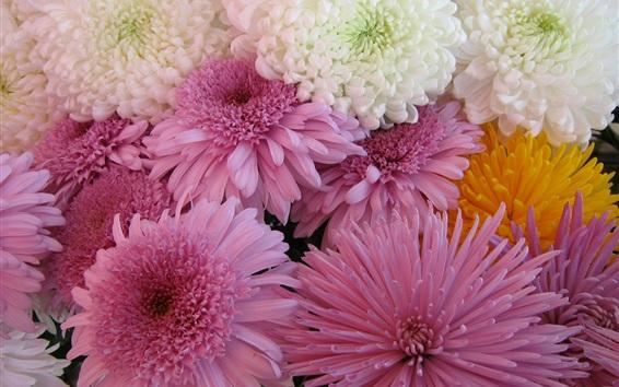 Обои Цветы хризантемы, белые и розовые