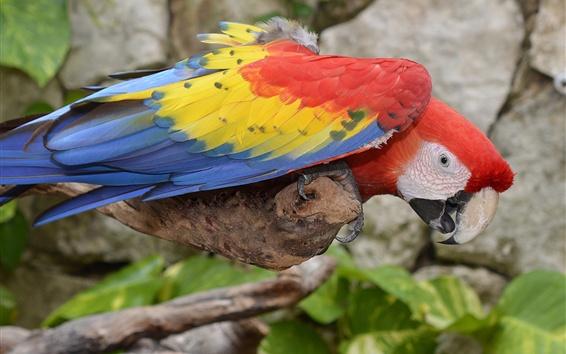 Papéis de Parede Macaw de penas coloridas, papagaio, pássaro