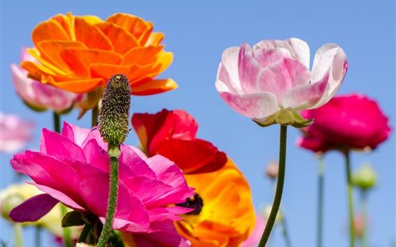 Papéis de Parede Papoilas coloridas flores, caule, céu