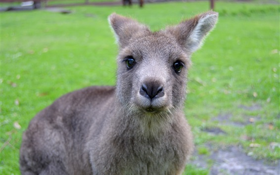 Обои Симпатичный кенгуру смотреть на вас, лицо