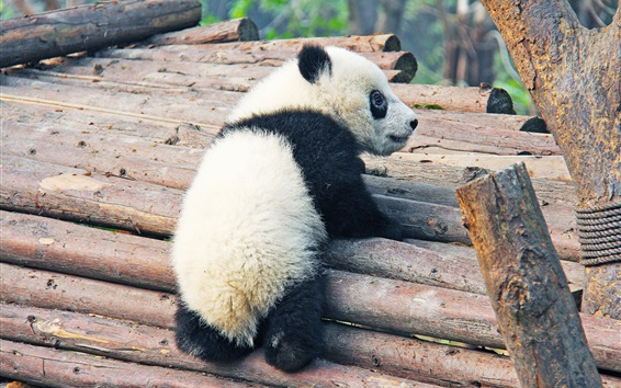 Papéis de Parede Filhote de panda bonito