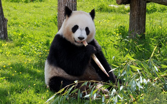 Fond d'écran Cute panda eating bamboo