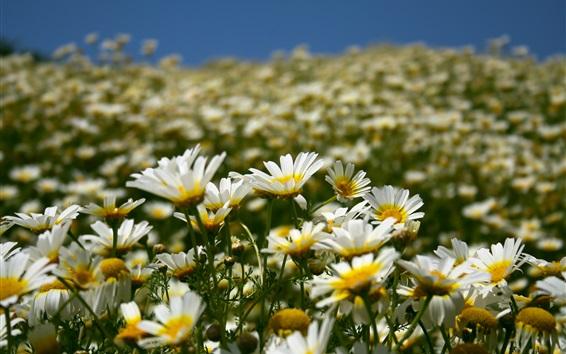 Wallpaper Daisies field, white flowers