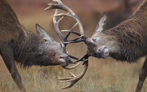 Papéis de Parede Deer, chifres, brincalhão