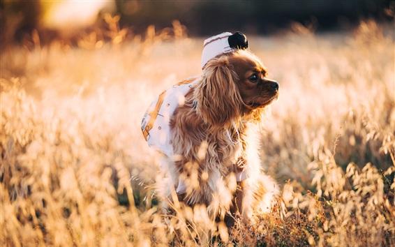 Papéis de Parede Cão andando na grama, luz solar