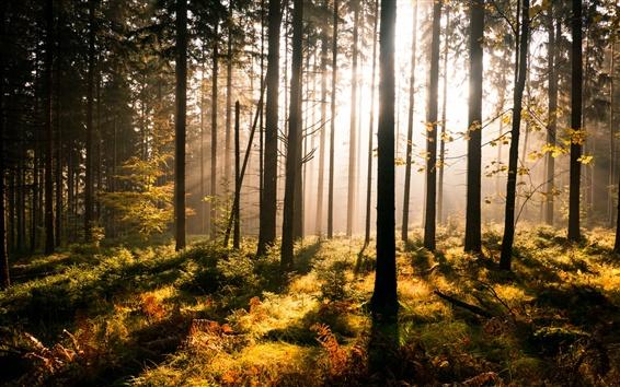 Papéis de Parede Floresta, raios solares, neblina
