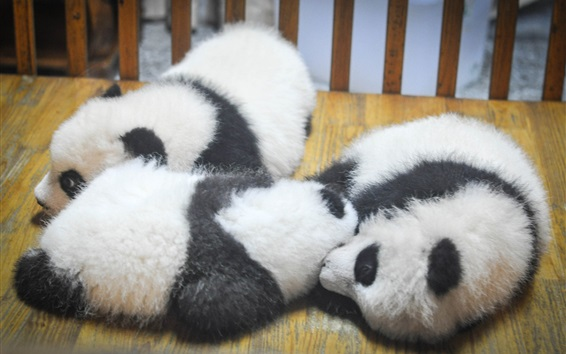 Wallpaper Furry panda cubs sleep
