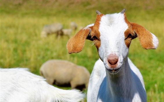 Papéis de Parede Vista frontal da cabra