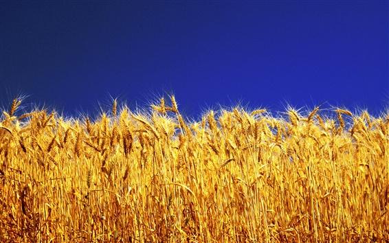 Обои Золотая пшеница, голубое небо