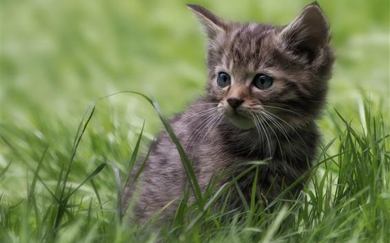 Wallpaper Gray kitten, lovely, grass
