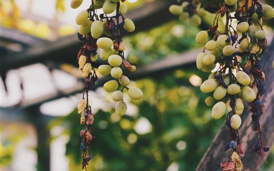 Wallpaper Green grapes, fruit, vine