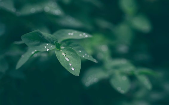 Wallpaper Green leaves, water drops, bokeh, nature