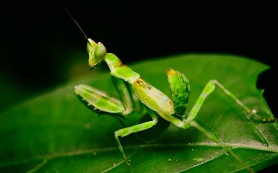 Wallpaper Green mantis, leaves