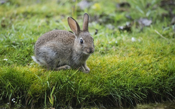 Wallpaper Hare, gray rabbit, grass