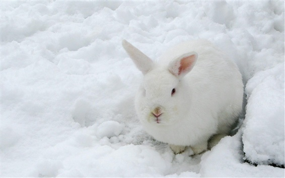 Wallpaper Hare, white rabbit, snow