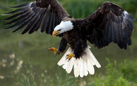 Обои Полет Hawk, крылья