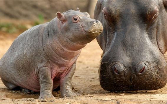 Papéis de Parede Hippo baby