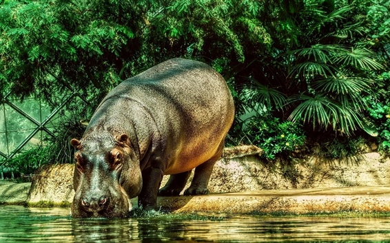 Wallpaper Hippopotamus drink water