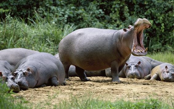 Wallpaper Hippos rest