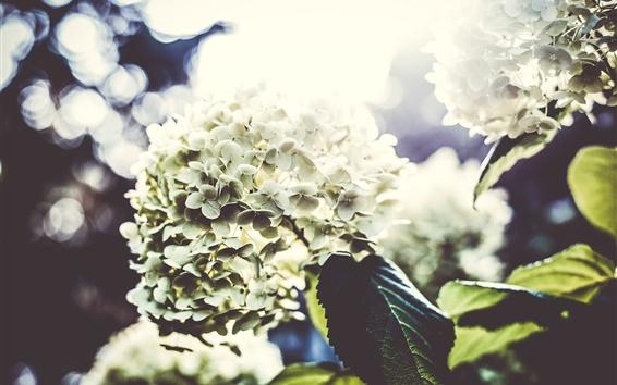 Papéis de Parede Hydrangea, flores fotografia, luz