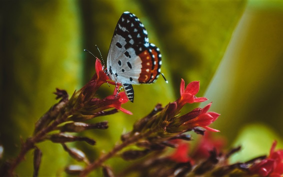 Fondos de pantalla Insecto, mariposa, alas, flores rojas