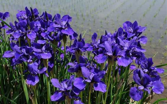 Wallpaper Irises blue flowers