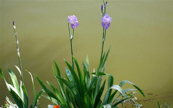 Papéis de Parede Íris flores roxas, folhas verdes