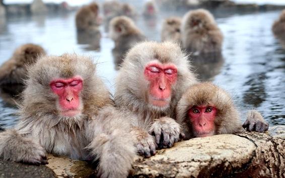 Wallpaper Japanese macaques, pool, monkeys