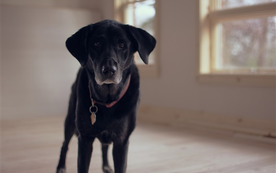 Papéis de Parede Vista frontal do cachorro Labrador