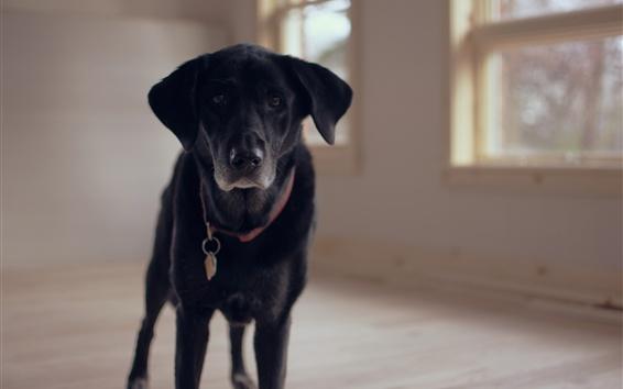 Wallpaper Labrador dog front view