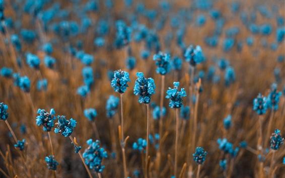 Wallpaper Little blue flowers field