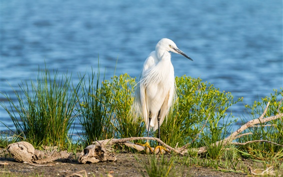 Wallpaper Little egret, white feathers