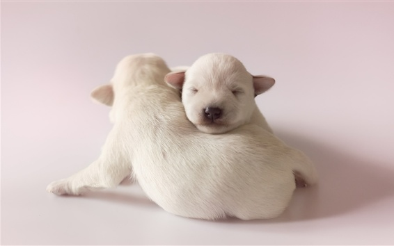 Wallpaper Lovely two white puppies