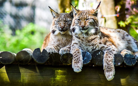 Wallpaper Lynx, two cats rest