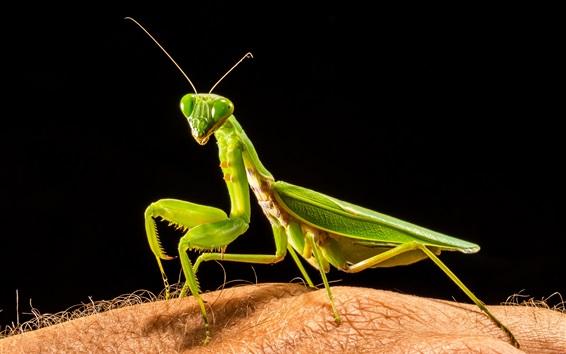 Wallpaper Mantis, hand