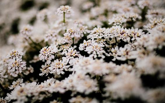 Wallpaper Many white little flowers bloom