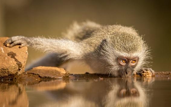 Papéis de Parede Macaco bebe água