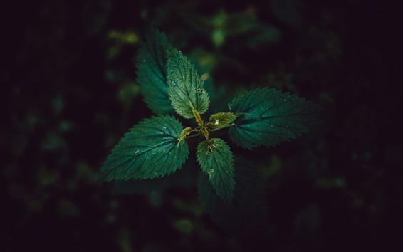 Papéis de Parede Folhas de urtiga, fundo preto