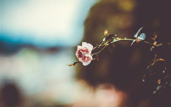 壁紙 1つのピンクのバラ、ぼやけた背景
