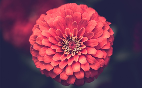 Wallpaper One pink zinnias flower macro photography