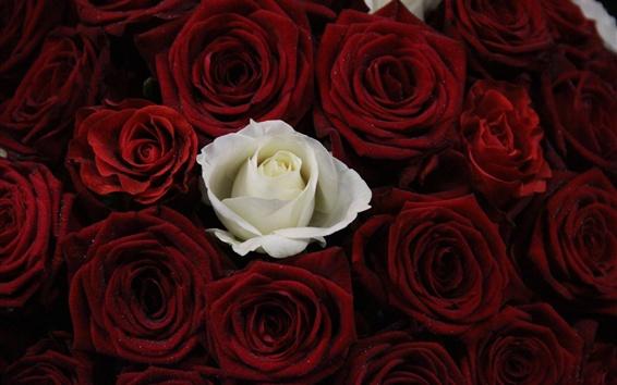 Fond d'écran Une rose blanche, beaucoup de rose rouge